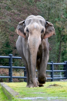 Packy, the Oregon Zoo's famous bull asian elephant, born in 1962.