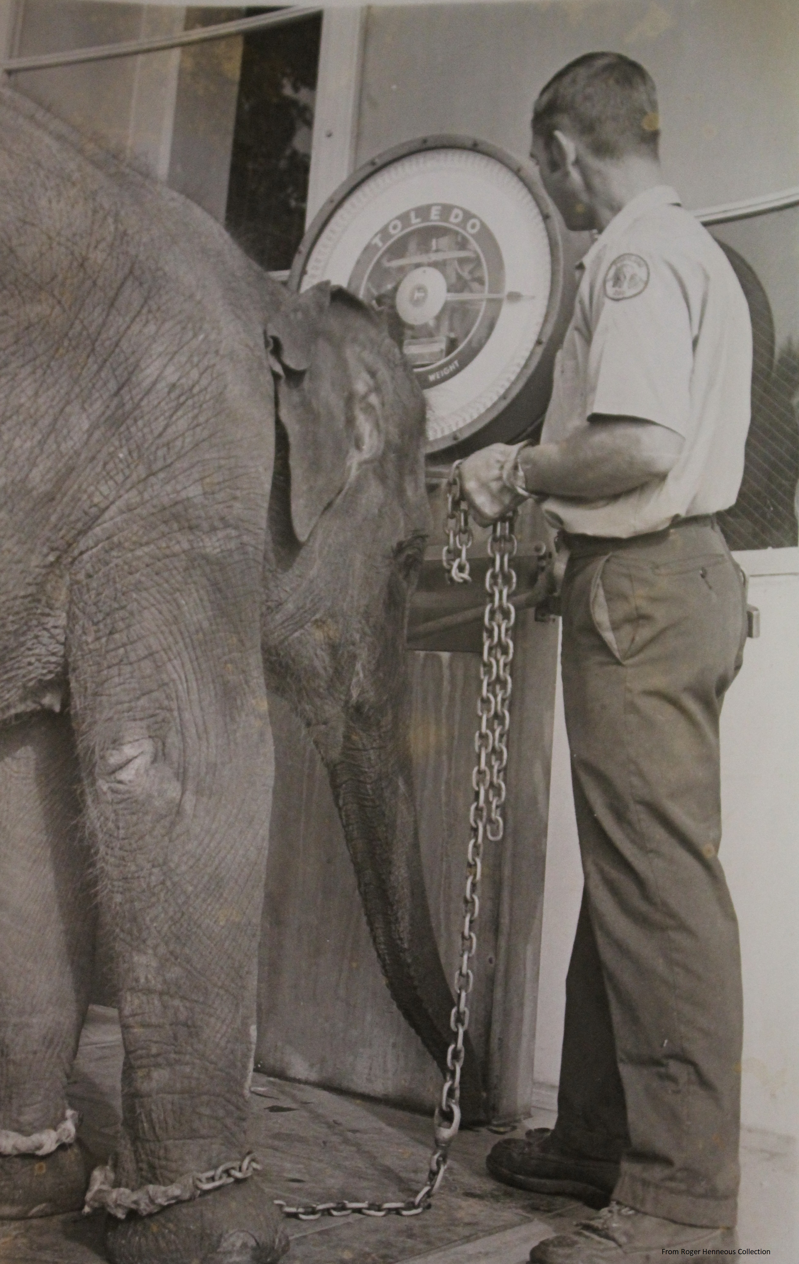 7 - Roger weighing elephant